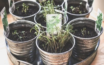 Czy warto hodować zioła w doniczce?