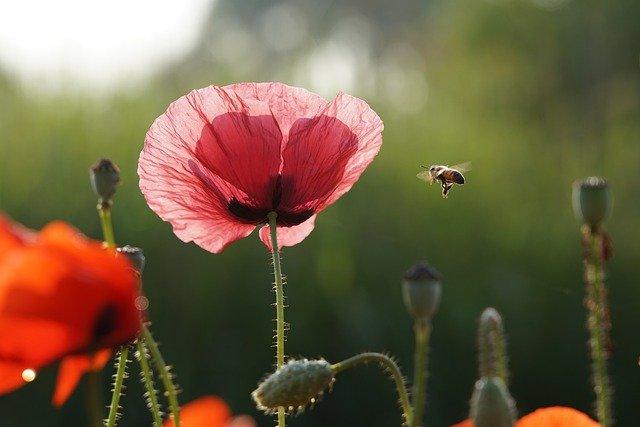 muraka pszczoła